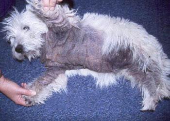 Yeast Dermatitis Animal Allergy Amp Dermatology