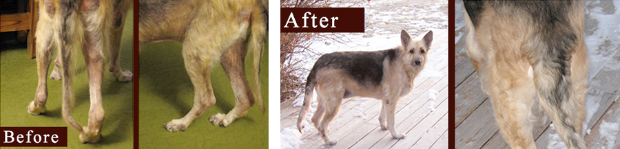 German Shepherd skin disease before and after