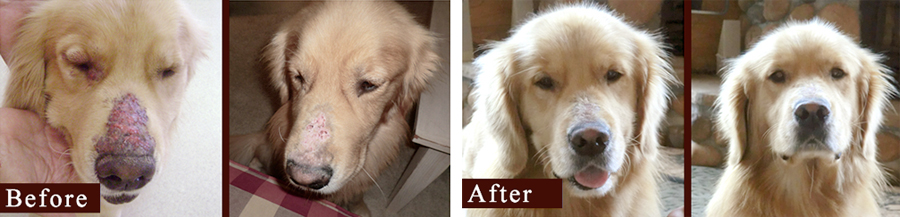 golden retriever skin disease before and after