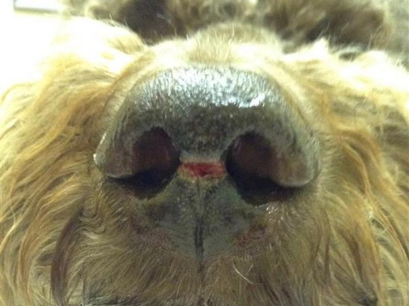 Dog nasal disease before